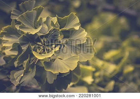 Ginkgo biloba, commonly known as gingko also known as the ginkgo tree or the maidenhair tree, is the only living species in the division Ginkgophyta, all others being extinct.
