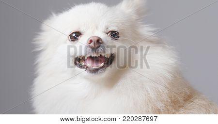 Barking Pomeranian dog