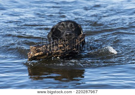 A Black Lab hunting dog with a stick of wood