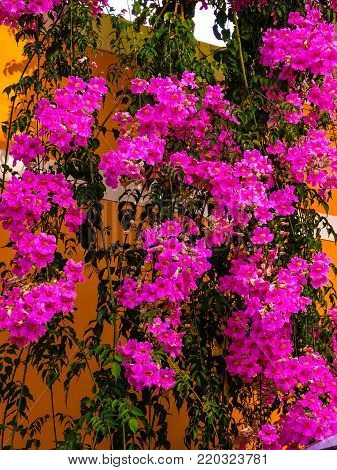 Trumpet flower, Campsis also as climbing trumpets, jasmine trumpets, trumpet wines or trumpet winds