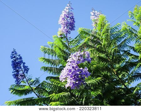 Palisanderholzbaum  Jacaranda Images, Illustrations, Vectors - Jacaranda Stock Photos ...