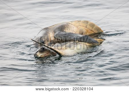 Sea turtles (Chelonioidea) are breeding at sea