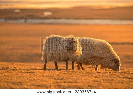Two icelandic sheep in sunset light. Iconic symbol of Iceland fauna, tourist point of interest