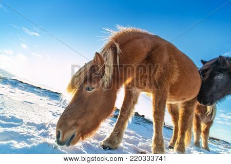 Icelandic herd of horses in winter landscape. Iconic symbol of Iceland fauna, tourist point of interest