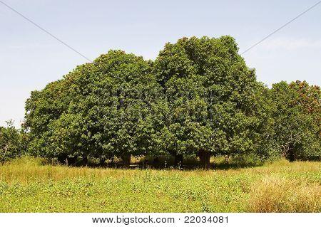 Trees in African savanna