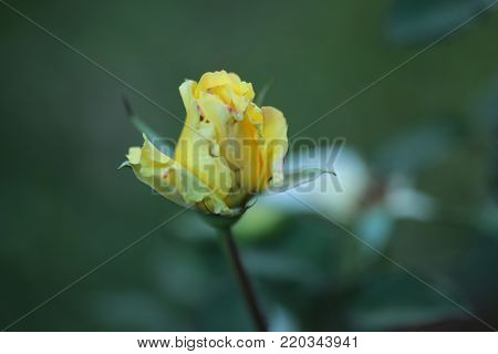 Single  yellow rose  on tree In Blurred background.