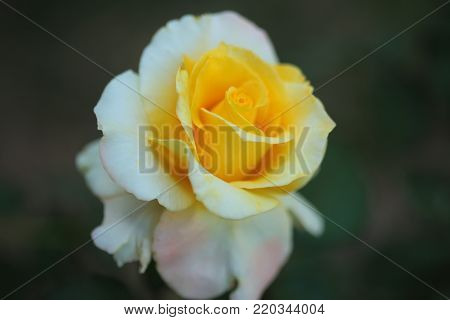 Single  yellow rose  on tree in  blrred  background.