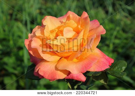 A large rose is yellow-pink in color. A large rose on the background of summer greens. A large peach-colored roses  in the summer garden.