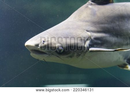 Floats Shark, photo taken under water. Ocean.