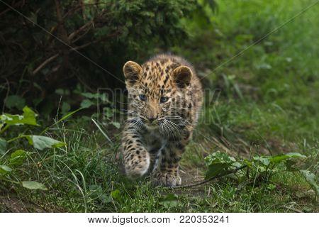 Three-month-old Amur leopard (Panthera pardus orientalis).