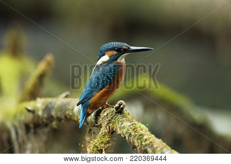 Alcedo atthis. It occurs throughout Europe. Looking for slow-flowing rivers. And clean water. The wild nature of Europe. Free nature. Photographed in the Czech Republic. Beautiful nature photos. A rare bird.