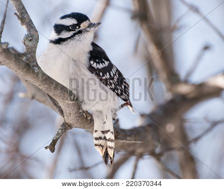 Downy Woodpecker perched on a tree branch in the woods.