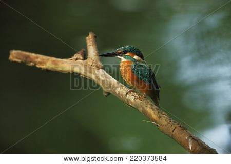 Alcedo atthis. It occurs throughout Europe. Looking for slow-flowing rivers. And clean water.