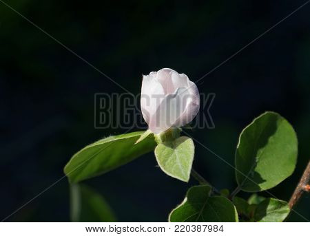 Blossoming of a quince. Cydonia oblonga blossom. Flowering branch of a quince on a black background.