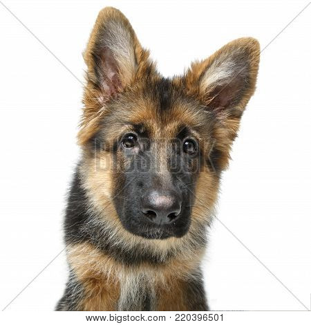 beautiful 4 month old german shepard puppy dog isolated on white background. copy space.