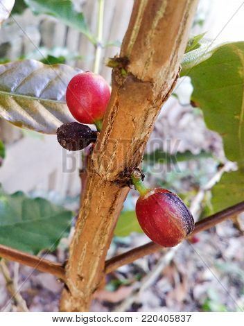 Arabica Coffee Tree With Coffee Bean In Cafe Plantation.  Coffee Beans Young And Ripening On Tree In