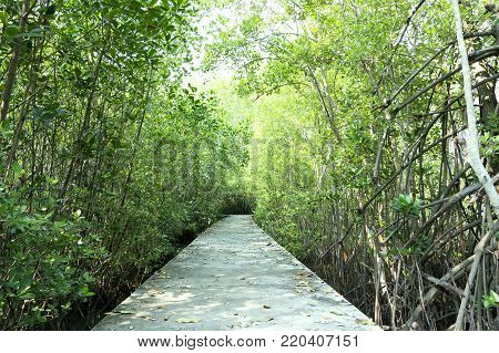 Boardwalk through a mangrove field. Boardwalk to learn and study of mangrove forest.The boardwalk is built using cement.