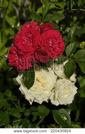 Colorful and crisp image of rambler roses at garden bed