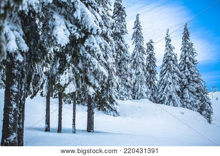 Beautiful winter landscape with snow covered fir-trees