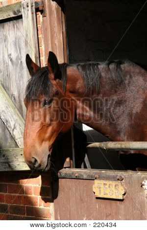 Tess In Stable
