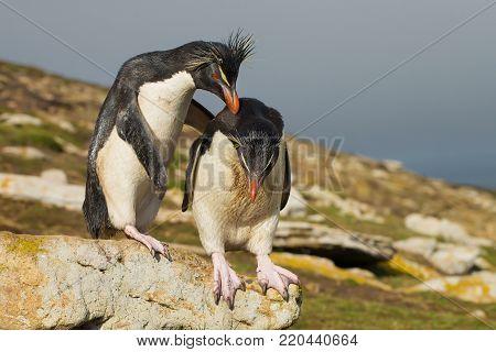 Southern rockhopper penguin encourages another penguin to jump, Falkland Islands. poster