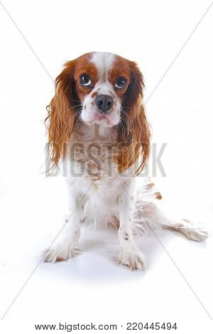 Dog puppy . Beautiful friendly cavalier king charles spaniel dog. Purebred canine trained dog puppy. Blenheim spaniel dog puppy. poster