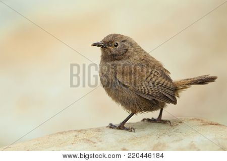 Cobb's wren (Troglogytes cobbi) standing on a stone with a sandy beak, Falkland islands.