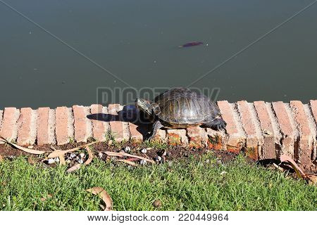 The inhabitant of the park pond is a small turtle on the coastal brick parapet of the pond.