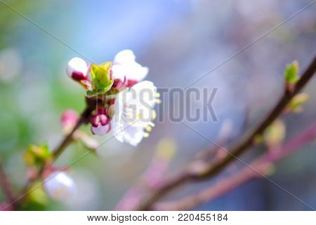 Blurred colorful spring flowers and a green bud as a blurred floral spring background (very shallow DOF, selective focus on the green bud)
