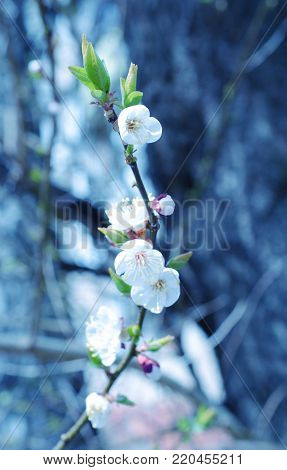 Blurred out-of-focus spring flowers as a blurred floral background in blue tones (shallow DOF, selective focus)