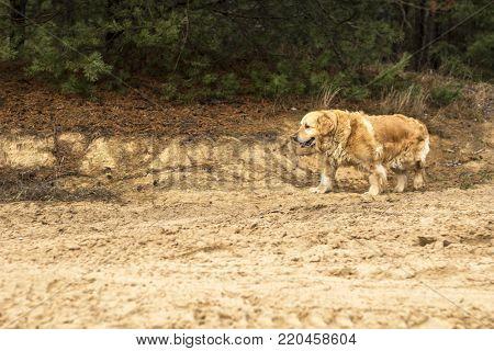 pedigree old golden retriever dog outdoor portrait