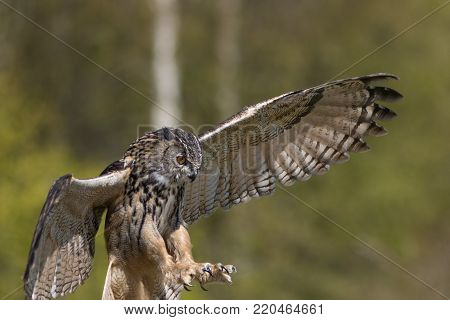 Bird of prey attacking prey. European Eagle Owl hunting with talons outstretched. Blurred green backgound with copy space.
