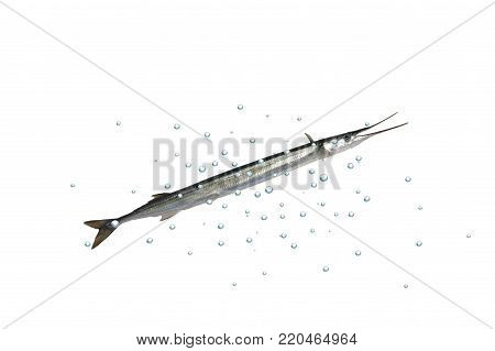 long garfish with bubble on white background