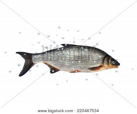 wild fish chondrostoma nasus on white background