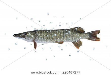 long pike  with bubbles on white background