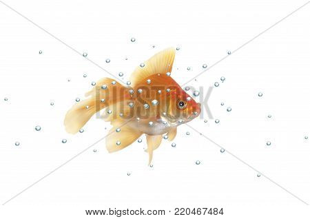 gold fish with bubbles on a white background