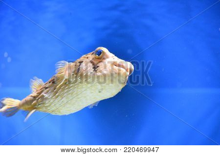 Interesting globefish swimming under the water's surface.