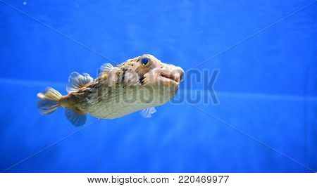 Porcupinefish swimming along under the water's surface.