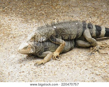 Pair of breeding iguanas on a concrete walk way in Aruba.