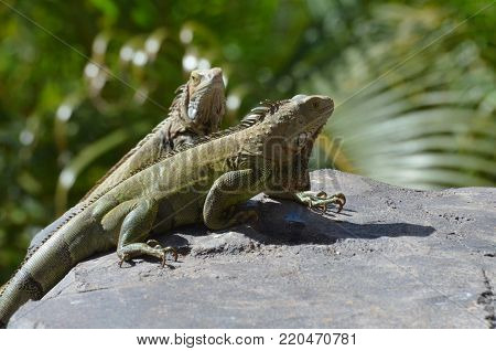Pair of green iguanas sitting on a rock in Aruba.