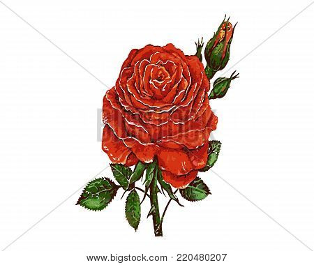 Red roses with green leaves. Nature red rose with green leaf. Illustration of rose on white background.