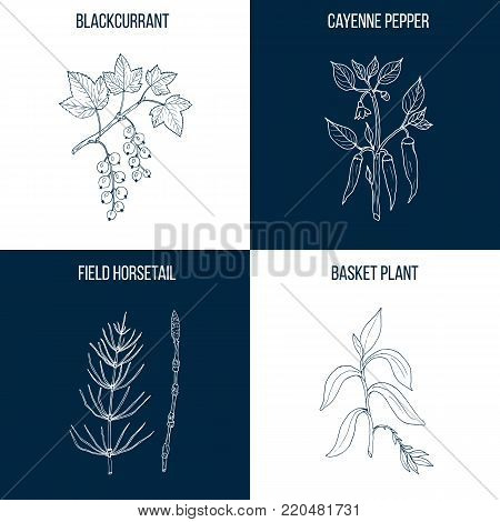 Vector collection of four hand drawn medicinal and edible  plants, black currant, cayenne pepper, horsetail, basket plant