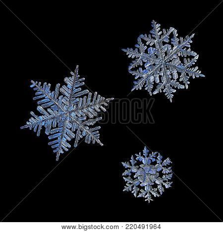 Three snowflakes isolated on black background. Macro photo of real snow crystals: large stellar dendrites with complex elegant shapes, long ornate arms, perfect hexagonal symmetry and glossy surface.