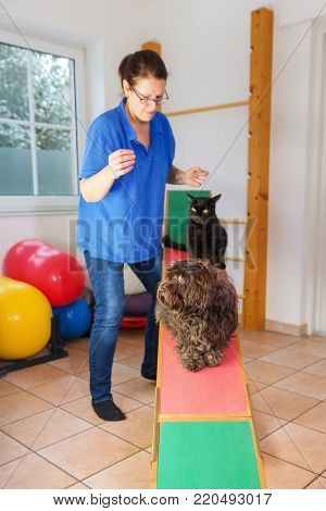 Woman Works With An Australian Cattledog On A Seesaw