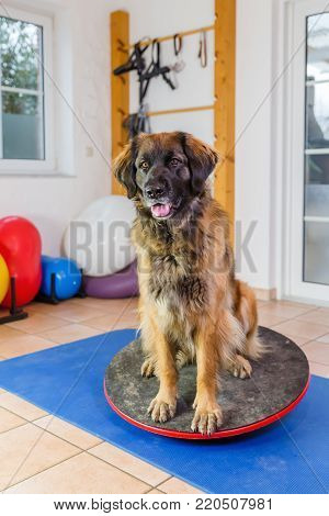 Leonberger In A Hydrotherapy Station