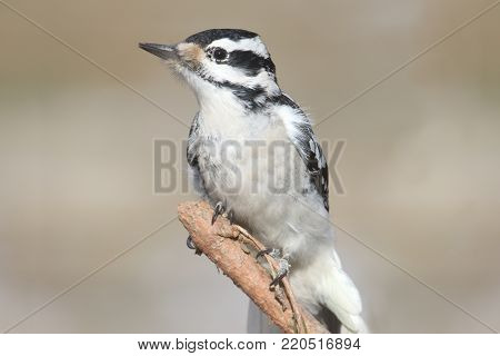 Female Hairy Woodpecker (Picoides villosus) on a branch with a light background