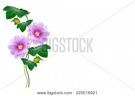 mallow isolated on white background. bright flower