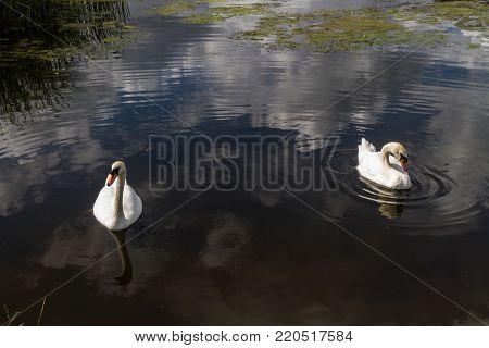 Two mute swans or Cygnus olor swimming on water. United Kingdom.
