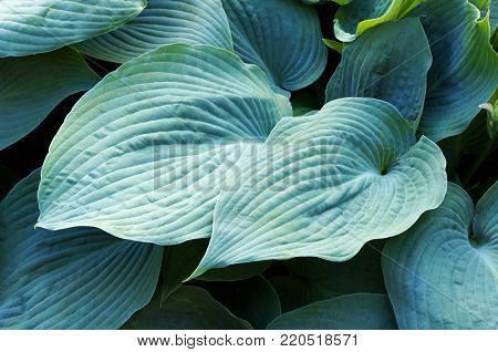 Lush foliage of decorative plant Hosta (Funkia). Natural background.