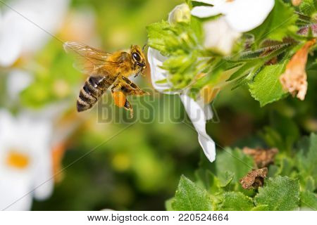 Flying worker honey bee with bee pollen feeding on Bacopa flower, Big yellow balls of collected packed pollen on honeybee's leg